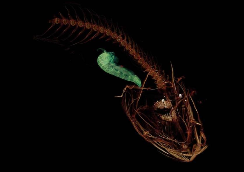snailfish.2.web