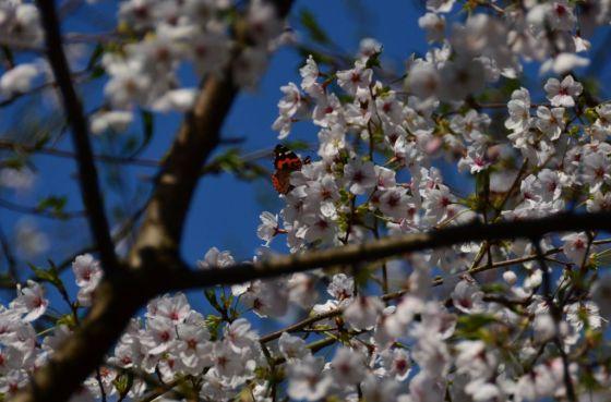 雷山ー浮嶽線・桜