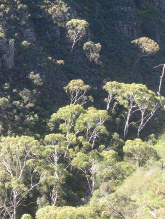 Morialta trees