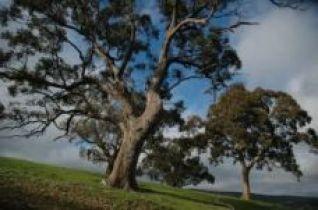waite tree2a