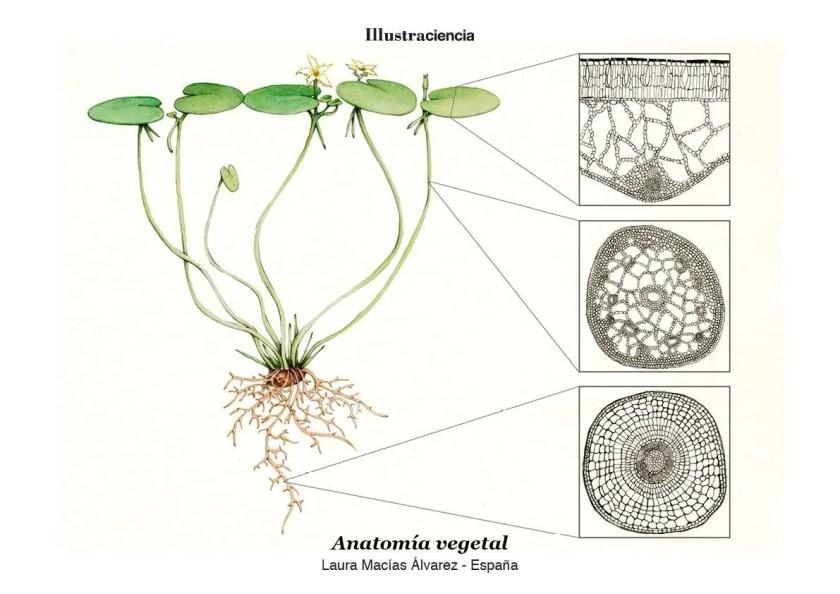 Anatomía Vegetal Illustraciencia4 Scenio