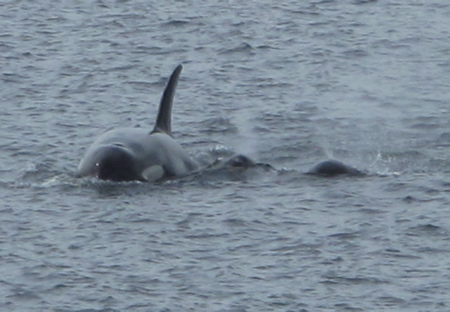 Orca and baby