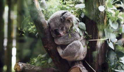 Îmi pare rău pentru Koala, dar… Hai să fim serioși!