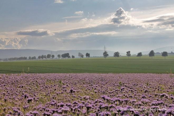 Bienenweide_Phacelia_Calenberger_Land