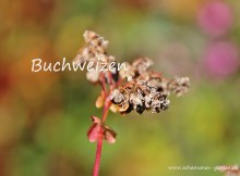 heilpflanze Buchweizen, Zöliakie, reifes Korn