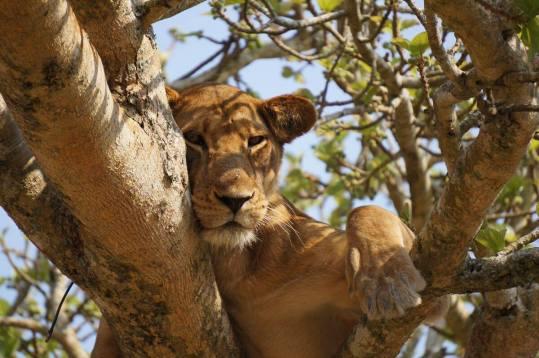 Uganda – im Land der sanften Riesen