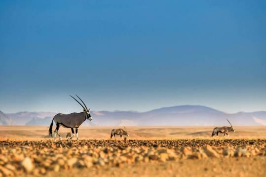 shutterstock 1124427065 Namibwüste - Namibia - Land der Kontraste