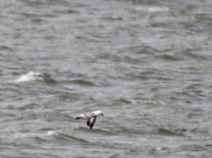 Noorse stormvogel 492