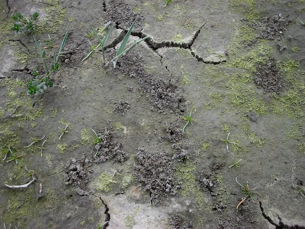 graafsporen van Bledius tricornis - Frank Wagemans