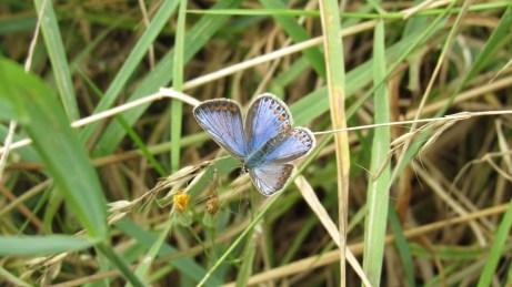 Icarusblauwtje - Polyommatus icarus (mannetje)