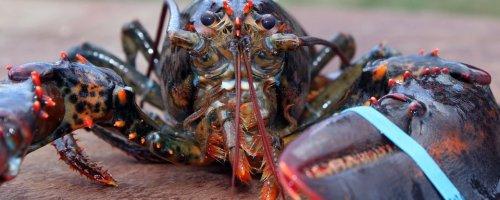 NIOZ wetenschappers gaan leeftijd van reuzenkreeft 'Louis' achterhalen