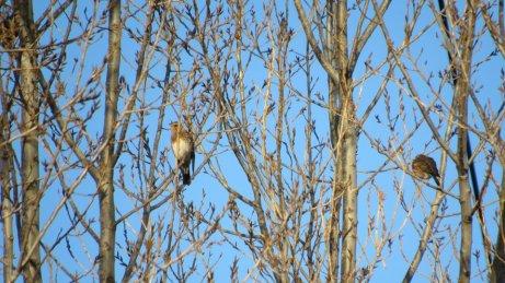 Koperwiek (Turdus iliacu) en Kramsvogel (Turdus pilaris)