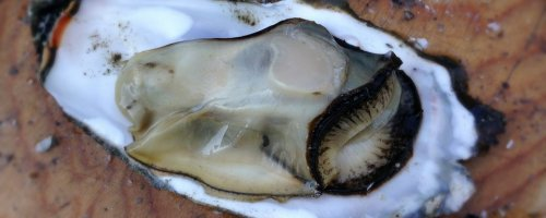 Japanse oester helpt bedreigde Nederlandse platte oester
