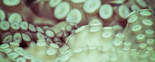 Octopus in de Noordzee
