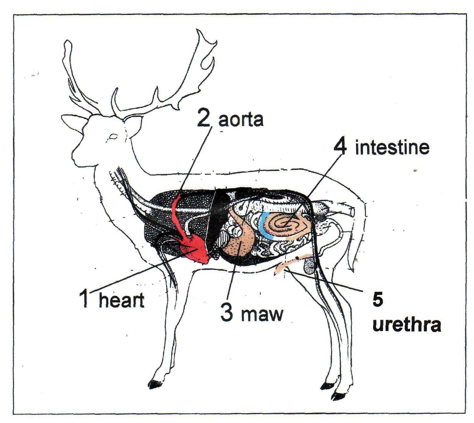 Whitetail Deer Anatomy Diagrams