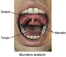 Anathomy of the mouth
