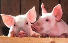 Die Schweinegrippe kann Menschen verändern