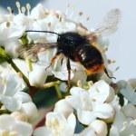 Erste Wildbienen im Frühjahr