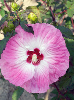 Giant Perennial Hibiscus Flowers Albert H Schmitt Family Farms