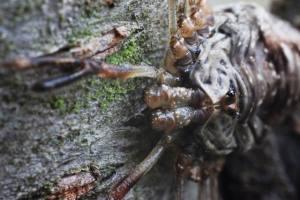 Dicranopalpus ramosus  (3)