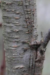 Dicranopalpus ramosus  (5)