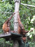 Shangri-La's Nature Reserve - Orang Utan - That cute look