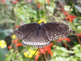 Cameron Highlands Butterfly Farm - Butterfly in Black Blue