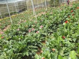 Cameron Highlands Butterfly Farm - Gerberas Flowers