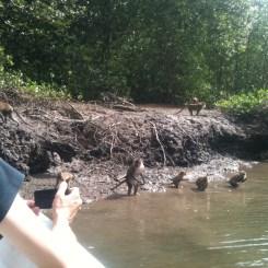 Residence of Mangrove Swamp, Langkawi monkeys