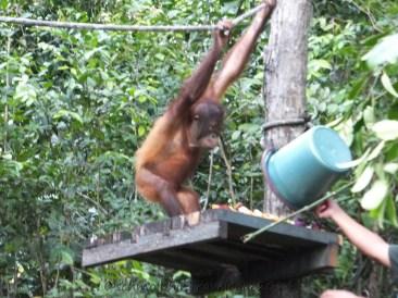 Shangri-La's Nature Reserve - Orang Utan enjoying more food given