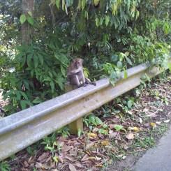 Pulau Ubin Monkeys Eating