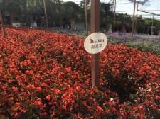 Cameron Lavender Garden - Begonia