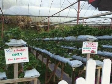 Cameron Lavender Garden Strawberry self-pick area