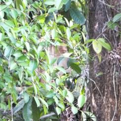 Sightings of the Redhead Primate in Kinabatangan River Wildlife Sanctuary