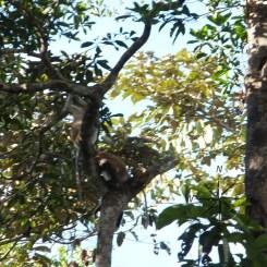 Sightings of the Proboscis Monkeys in Kinabatangan River Wildlife Sanctuary