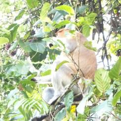 Sightings of the Proboscis Monkey Chilling in Kinabatangan River Wildlife Sanctuary