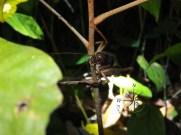 Brown Grasshopper on Branch in Sukau Forest Kinabatangan