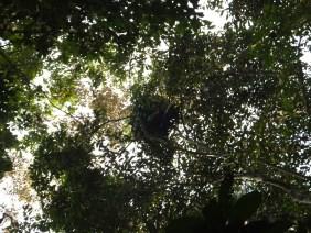 Sightings of Orang Utan Bed during Morning Jungle Trekking in Kampung Sukau Forest near Sukau Evergreen Lodge Kinabatangan