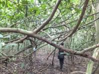 Low branches during Morning Jungle Trekking in Kampung Sukau Forest near Sukau Evergreen Lodge Kinabatangan