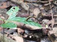Tiger Leech during Morning Jungle Trekking in Kampung Sukau Forest near Sukau Evergreen Lodge Kinabatangan