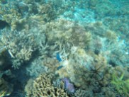 Spotted Blue Starfish while Snorkeling around Sibuan Island, Semporna Island Hopping
