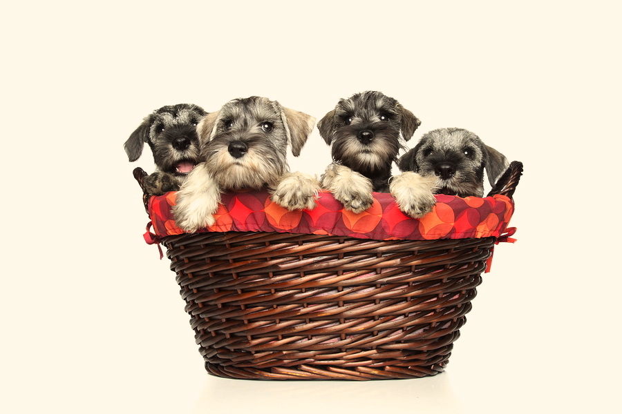 Miniature and standard schnauzer puppies in wicker basket on a white background