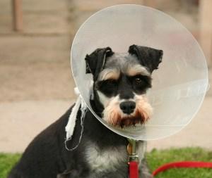 dog in a cone