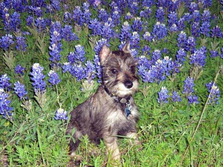 in-the-bluebonnets