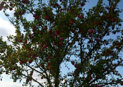 Apfelbäume--8.9.14   (6)