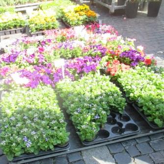 Weimarer Blumenmarkt 19.05 (8)
