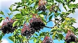 Hollundersuppe und Apfelscheiben (5)