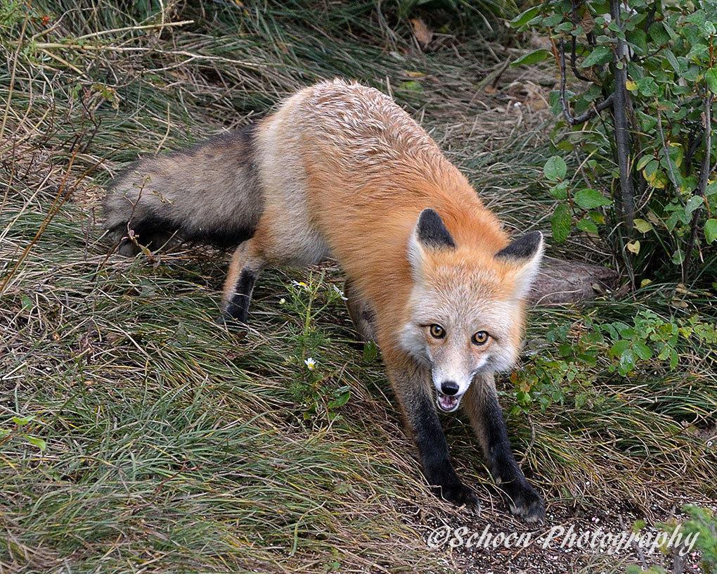 Fox 004