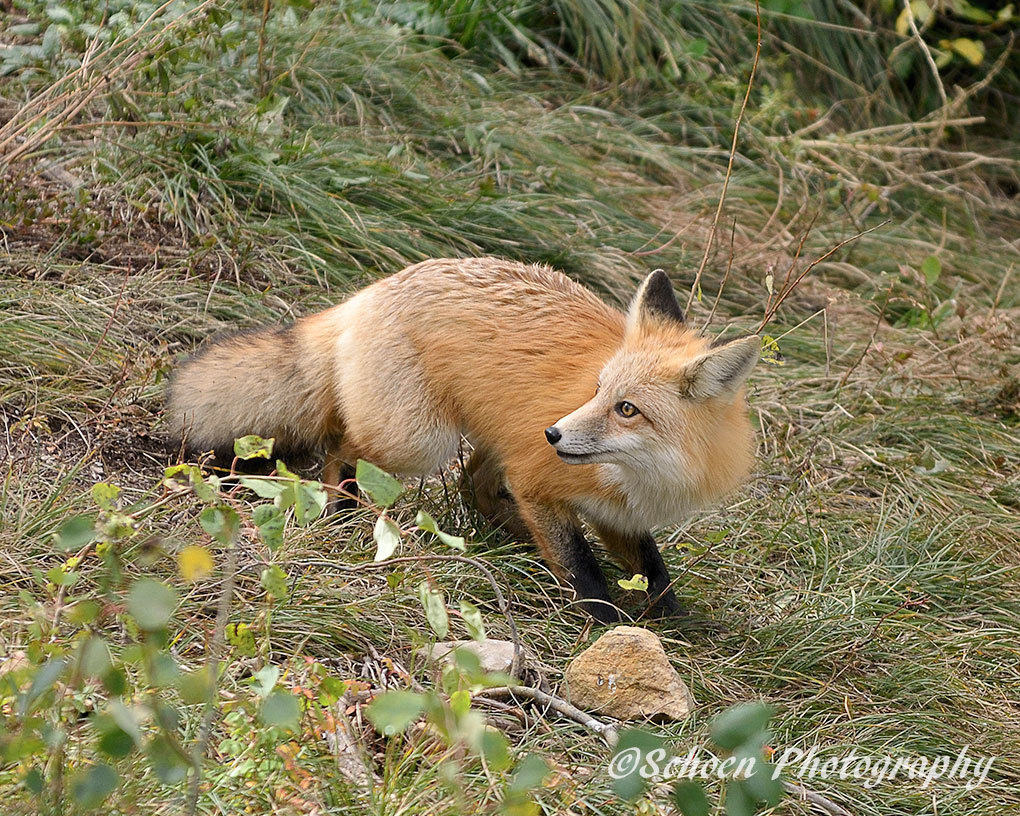 Fox-007