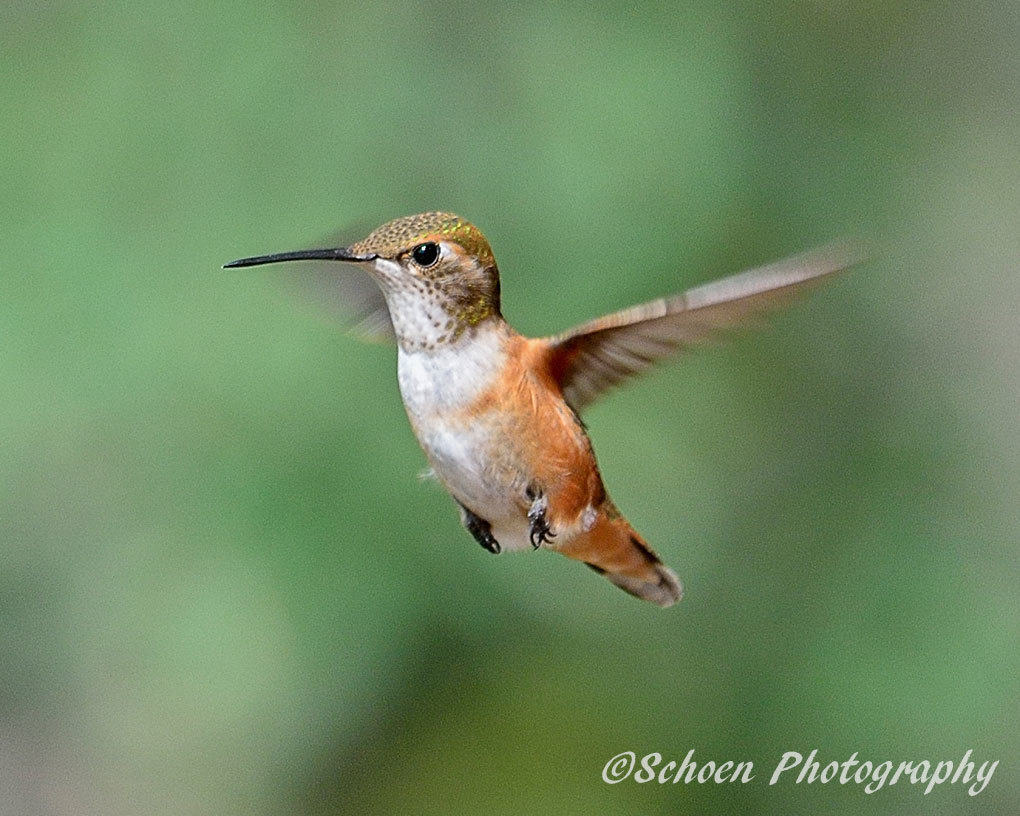 Hummingbird 006